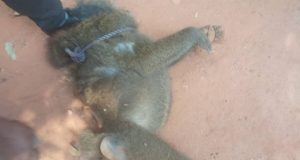 Baboon injures 13-year-old girl in Anambra state